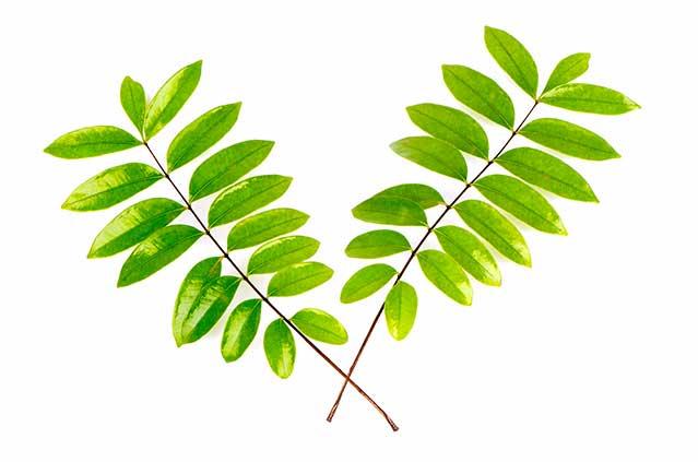 Eurycomae Longifoliae Radix Extract